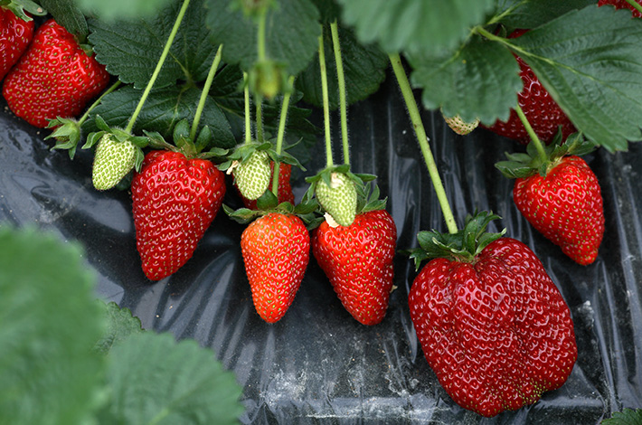 Maresme Strawberries